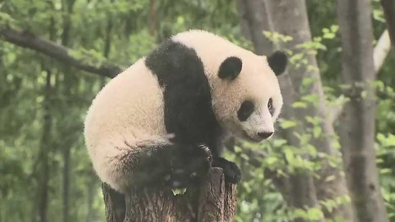 「シャンシャン」1歳おめでとう!ところで、父親パンダのこと憶えてますか?【パパはつらいよ】