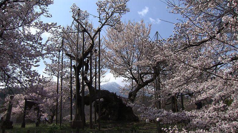 樹齢2000年 子孫は宇宙へ…時空を超えて咲き続ける「山高神代桜」