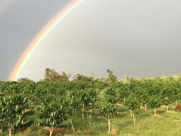 コロナがハワイのコーヒー農園を直撃「コーヒーを摘む外国人労働者がいなくなる」<br />