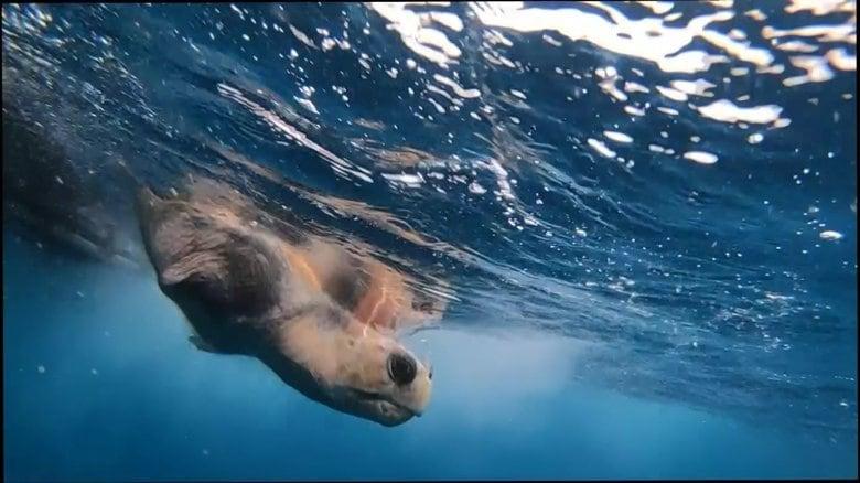 片足失ったウミガメ リハビリ経てついに海へ…保護から旅立ちまでの1年 海洋ごみ対策も発展【島根発】