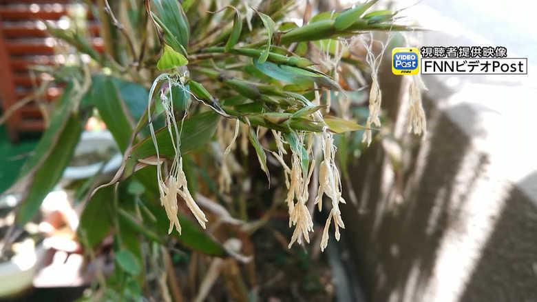 """120年に一度しか咲かない…「竹の花」が開花 """"珍現象""""を専門家に聞いた"""