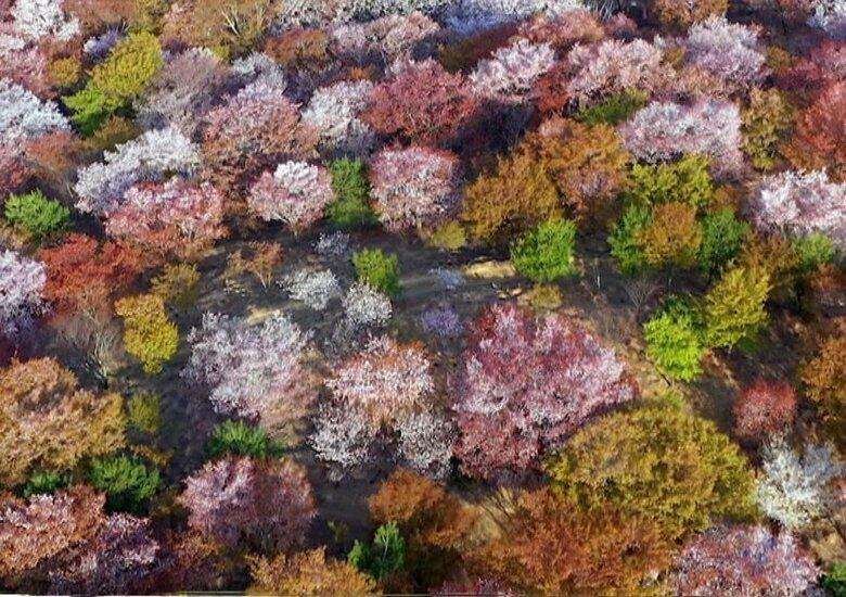 """桜シーズン到来 東京は史上最速開花!2021年は """"空から見る桜""""も…おうちで極上花見はいかが?"""