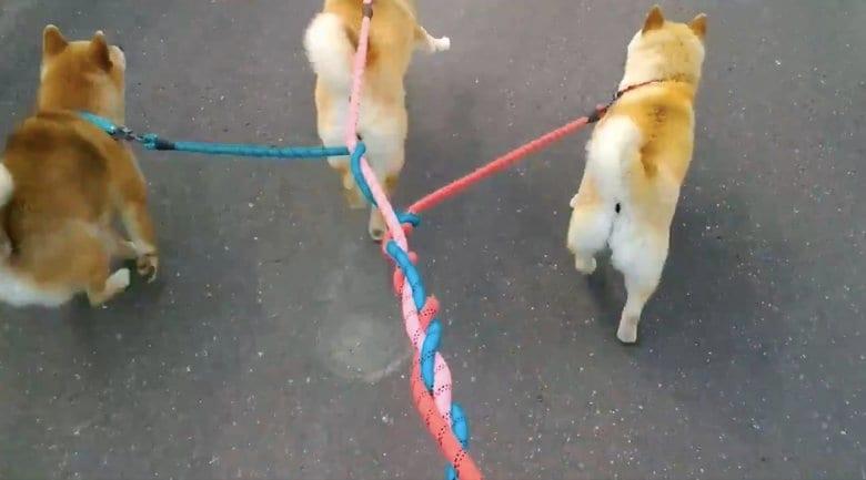 """散歩中の柴犬3匹のリードが""""編まれる""""光景がかわいい…飼い主に状況を聞いてみた"""