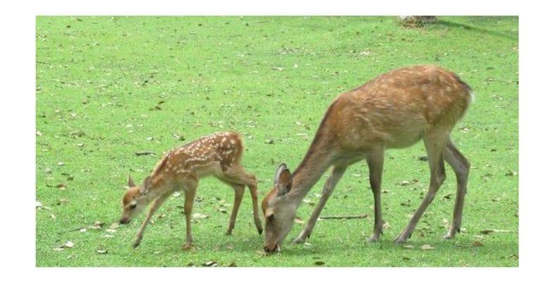 """観光客減少で奈良公園のシカが""""野生化""""…これはいい影響?専門家に聞いた"""