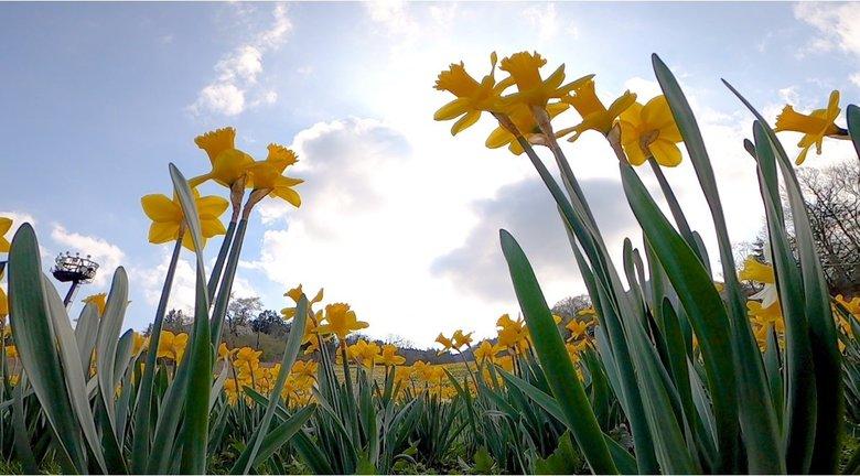 休園中の絶景 ゲレンデに咲く百万株のスイセン 「花は見られるために植えられている」
