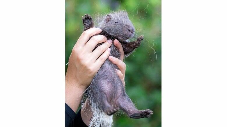 「高い高ーい」抱え上げられるヤマアラシの赤ちゃんがかわいい…素手だけど痛くない?飼育員に生態を聞いた