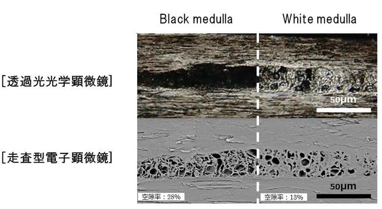 世界初、毛髪の中心部「メデュラ」の構造変化を新解明
