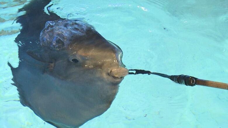 上皇ご夫妻も訪問…「マンボウの泳ぐ水族館」志摩マリンランド閉館へ 大阪万博に合わせ開業も来館者減り