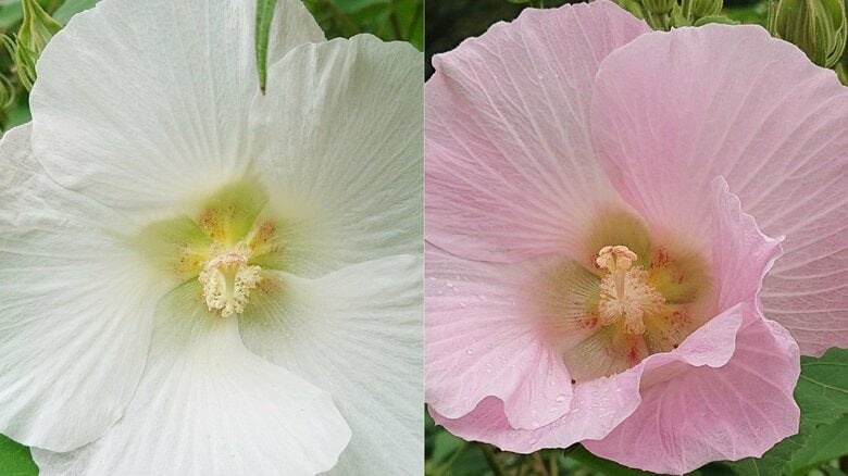 朝は白く昼過ぎにはピンクに…1日しか咲かない「スイフヨウ」まもなく見ごろ タイムラプスでわかる変化