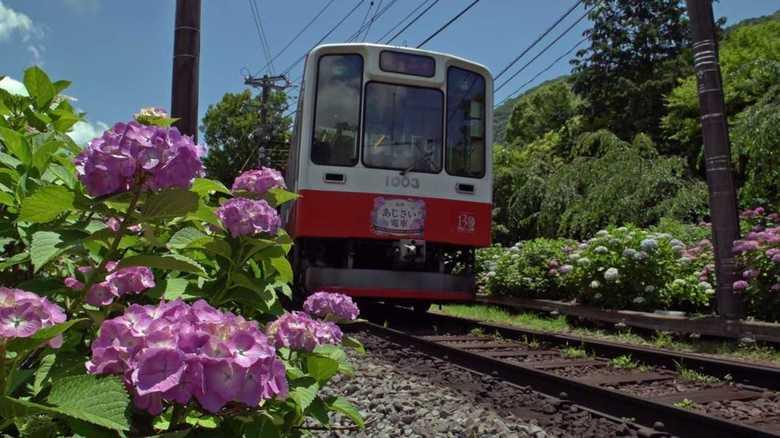 一万株の紫陽花が乗客の目を楽しませる「あじさい電車」