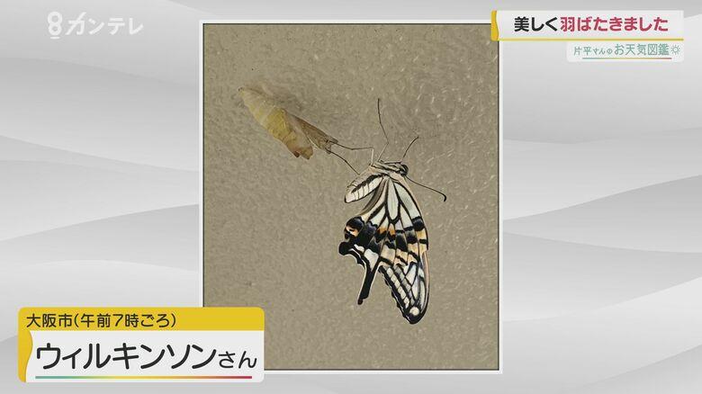 【お天気図鑑】「アゲハ蝶が羽化」(大阪市)