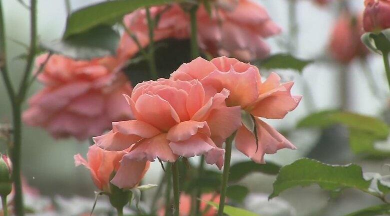 """香りが通常のバラの3840倍!魅力の""""数値化""""で売り上げ3倍に 農園を救った「成分ブランディング」とは"""