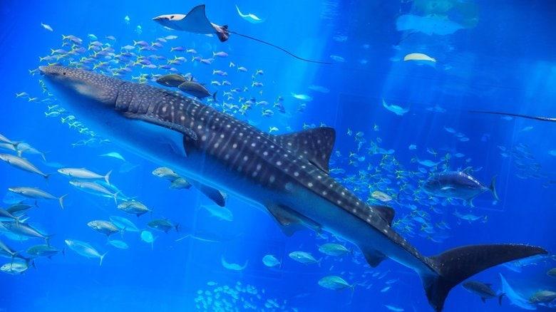 """ジンベイザメの目は""""大量の歯""""に覆われていると判明…一体どういうこと?研究チームに聞いた"""