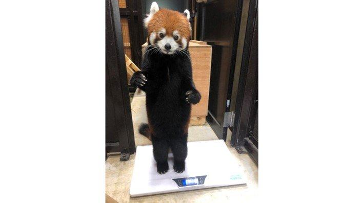 本当に着ぐるみじゃない? 背筋をピーンと直立するレッサーパンダが可愛い