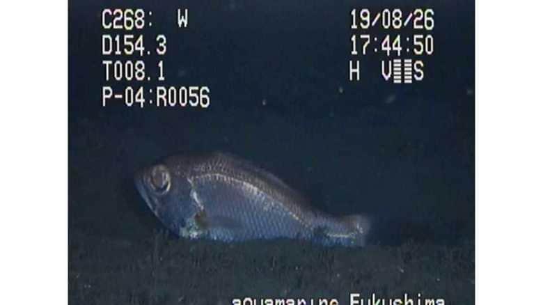 日本初!高級魚「のどぐろ」が海底を泳ぐ姿を撮影成功…どれだけすごいことなのか聞いてみた