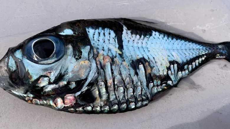 """偶然捕獲した不気味な「謎の魚」は何? """"独特の模様""""のワケを深海魚の専門家に聞いた"""