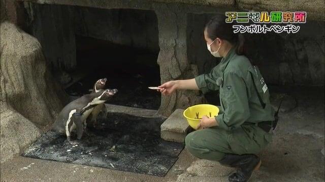 """ペンギンの飼育に密着! 食事など気になる生態に迫る 健康診断で""""ご機嫌ななめ""""に?新人飼育員が奮闘【富山発】"""