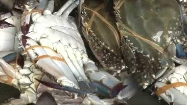なんで?ワタリガニ漁獲量 震災前の200倍【仙台発】