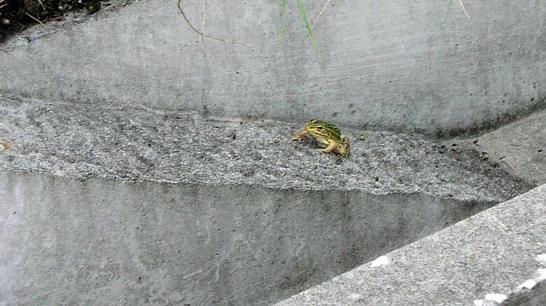 """カエルを助ける専用スロープ…小さな生き物に""""優しいコンクリート"""" 側溝など自然に溶け込む【岡山発】"""