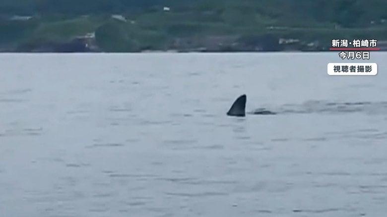 「こわ!でけえよ」海面に背びれ…カヤック横にメジロザメ? 新潟県で撮影者語るジョーズ遭遇の瞬間